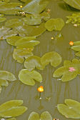 Beautiful water lily in the swamp — Stock Photo