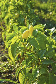Plant of growing yellow pepper — Stock Photo