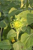 Bud slunečnice — Stock fotografie