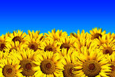Sunflower field on a blue background — Stock Photo