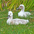 Beautiful young swans — Stock Photo #12240864