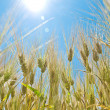 Barley field in summer — Stock Photo