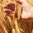 Wheat ears in the hand — Stock Photo