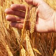 Wheat ears in the hand - Stok fotoğraf