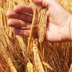 tarwe oren in de hand — Stockfoto