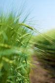 Grano verde archiviato — Foto Stock