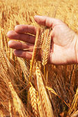 Wheat ears in the hand — Stok fotoğraf