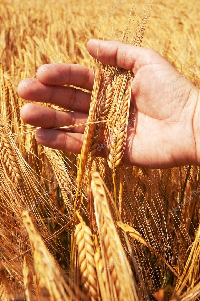 Wheat ears in the hand. Harvest concept  Stock Photo #12574658