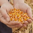 Stock Photo: Corn seeds in female hands