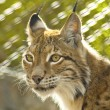 Stock Photo: Young female lynx
