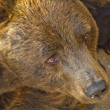 Portrait of a european brown bear - Stock Photo