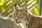 Young female lynx — Stock Photo