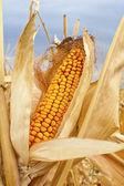 Yellow corn cob — Stock Photo