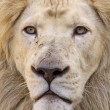 White lion - Stock Photo