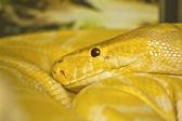 Φίδι κεφάλι — Stockfoto