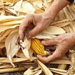 Corn cob — Stock Photo #13901898