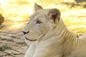 Young white lioness — Stock Photo