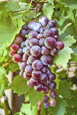 Fresh red grapes — Stock Photo
