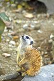 Meerkat giovane — Foto Stock