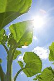 Sunflower leafs — Stock Photo