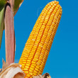 Corn cob — Stock Photo #18426763