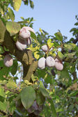 Plums on a tree — Stock Photo