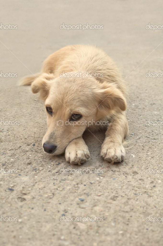 Close up portrait of a yellow dog lying on the asphalt road   Stock Photo #18558003