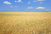 Wheat field — Stock Photo