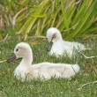 Beautiful young swans — Stock Photo