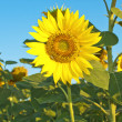 Stock Photo: Beautiful big sunflower