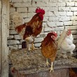 Domestic chickens — Stock Photo