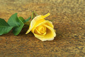 Yellow rose flower. — Stock Photo