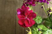 Red geranium flowers — Stock Photo