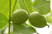 Green walnuts growing on a tree — Stock Photo