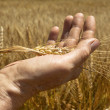 Wheat ears in the hand. — Stock Photo