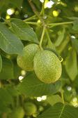 Green walnuts growing on a tree — Stock Photo