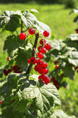 Tasty red currants — Stock Photo