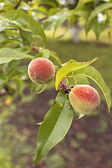 Green peach fruits — Stock Photo