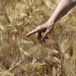 Farmer hand in wheat field. — Stock Photo