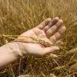 Foto de Stock  : Wheat ears in the hand.