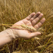 Wheat ears in the hand. — Stockfoto #29196173