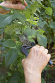 Pruning rose with secateurs. — Stock Photo