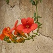 Beautiful red oleander flower — Stock Photo