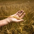 Wheat ears in the hand. — 图库照片