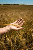 Wheat ears in the hand. — Foto de Stock