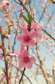 Peach trees in bloom. — Stock Photo