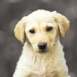 Yellow labrador retriever puppy. — Stock Photo
