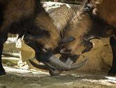 Dvě rozzlobený kozy bojovat o ženské území. — Stock fotografie