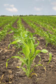 Young green corn in agricultural field in early spring. — Stock Photo