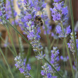 Lavender blooms and a bee — Stock Photo #49583319
